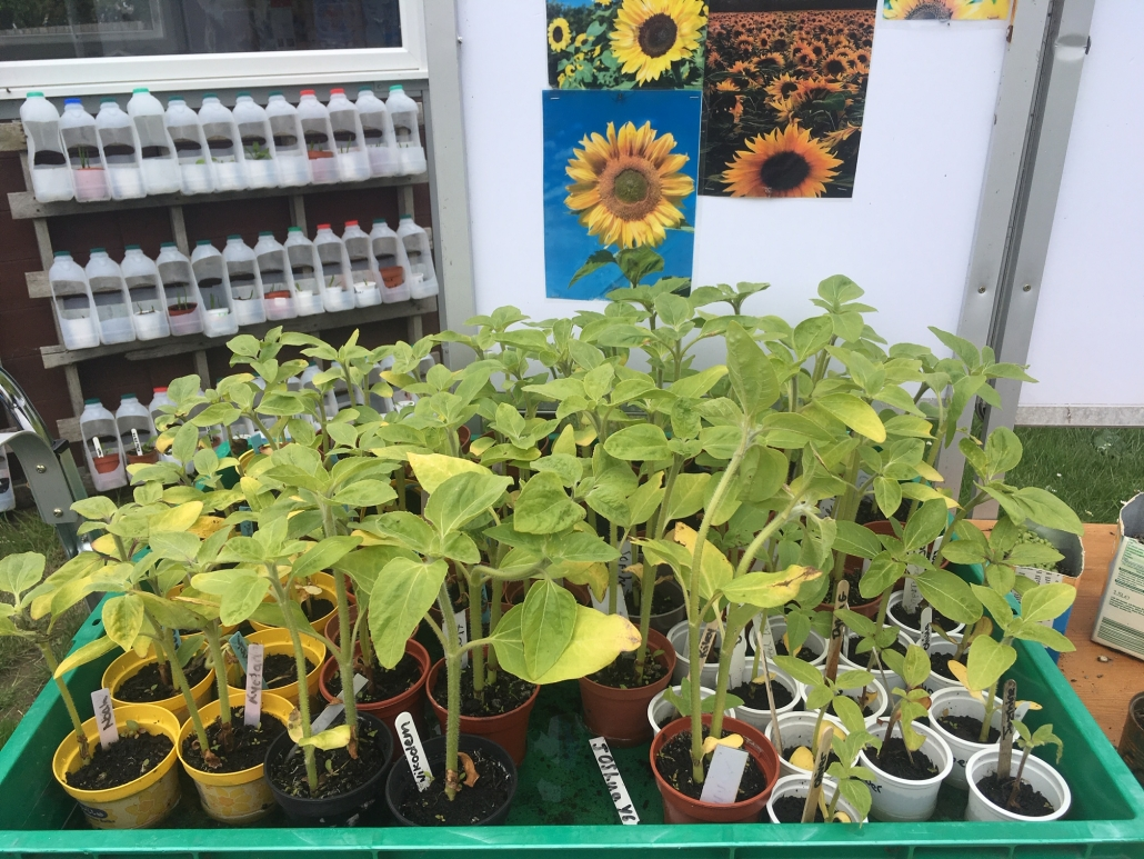 a display of sunflower seedlings in Holsworthy Primary School