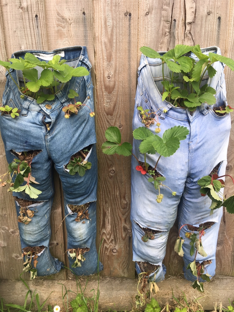 2 pairs of jeans repurposed as strawberry growing bags, suspended on a wall at Holsworthy Primary school