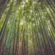 A stand of bamboo