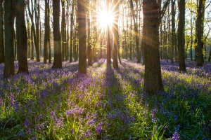 Sun shining though a bluebell wood