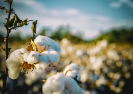 Cotton in a field