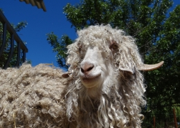 a picture of an angora goat
