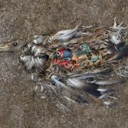 A picture of an dead albatross with a stomach full of plastic washed up on a beach