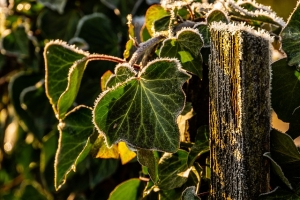 sunlit icy ivy leaves
