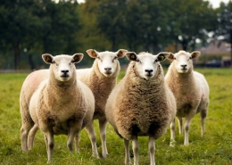 Picture of several sheep in a field