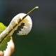 picture of a silkworm